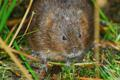 Water Vole with White Spot credit Mark Rothery