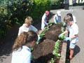 Cestria Primary School flower bed planting 2017